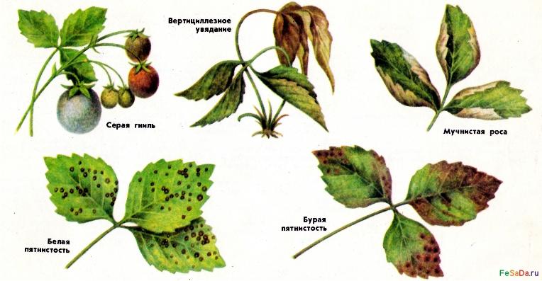 клубника болезни фото
