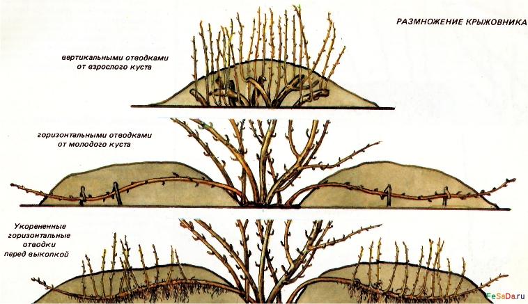 Схема обрезки крыжовника фото