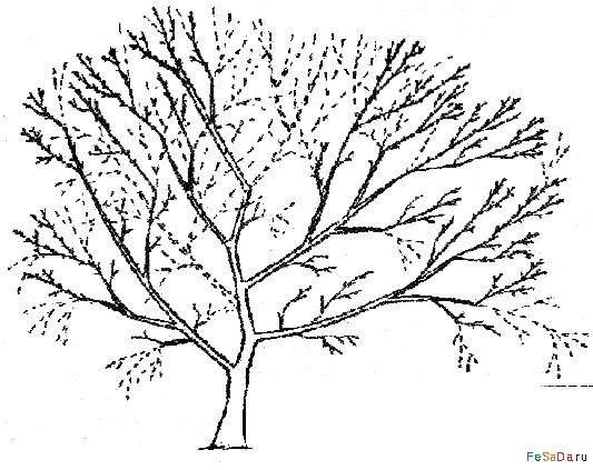 Схема обрезки яблони в период