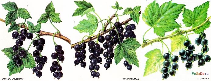 Смородина чёрная, красная и белая - агротехника, плодоношение, посадка, сорта ФЕрмер САдовод ДАчник