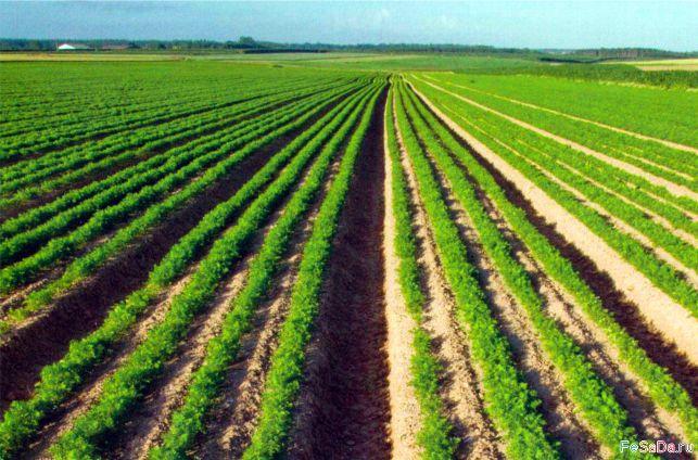 Промышленное выращивание моркови 41